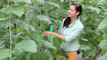 Применение для подкормки борной кислоты для огурцов
