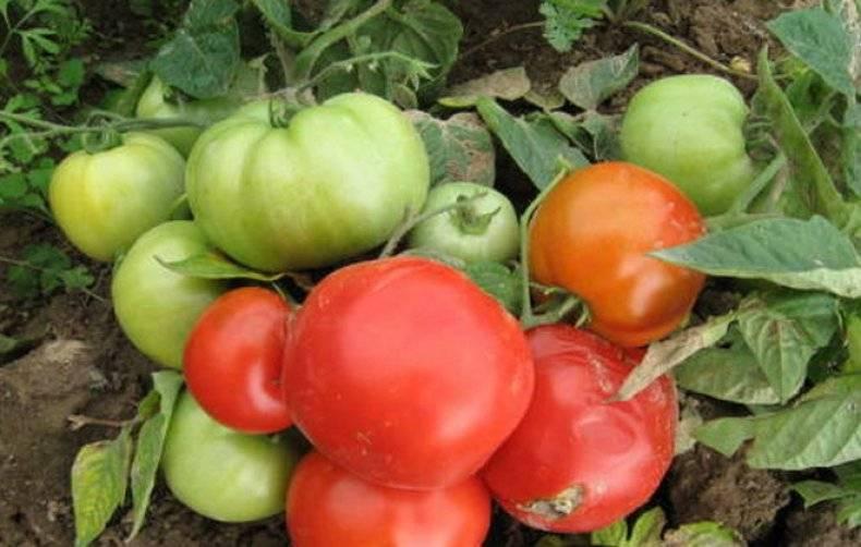 Каспар томат отзывы. томат каспар: основная характеристика и описание сорта