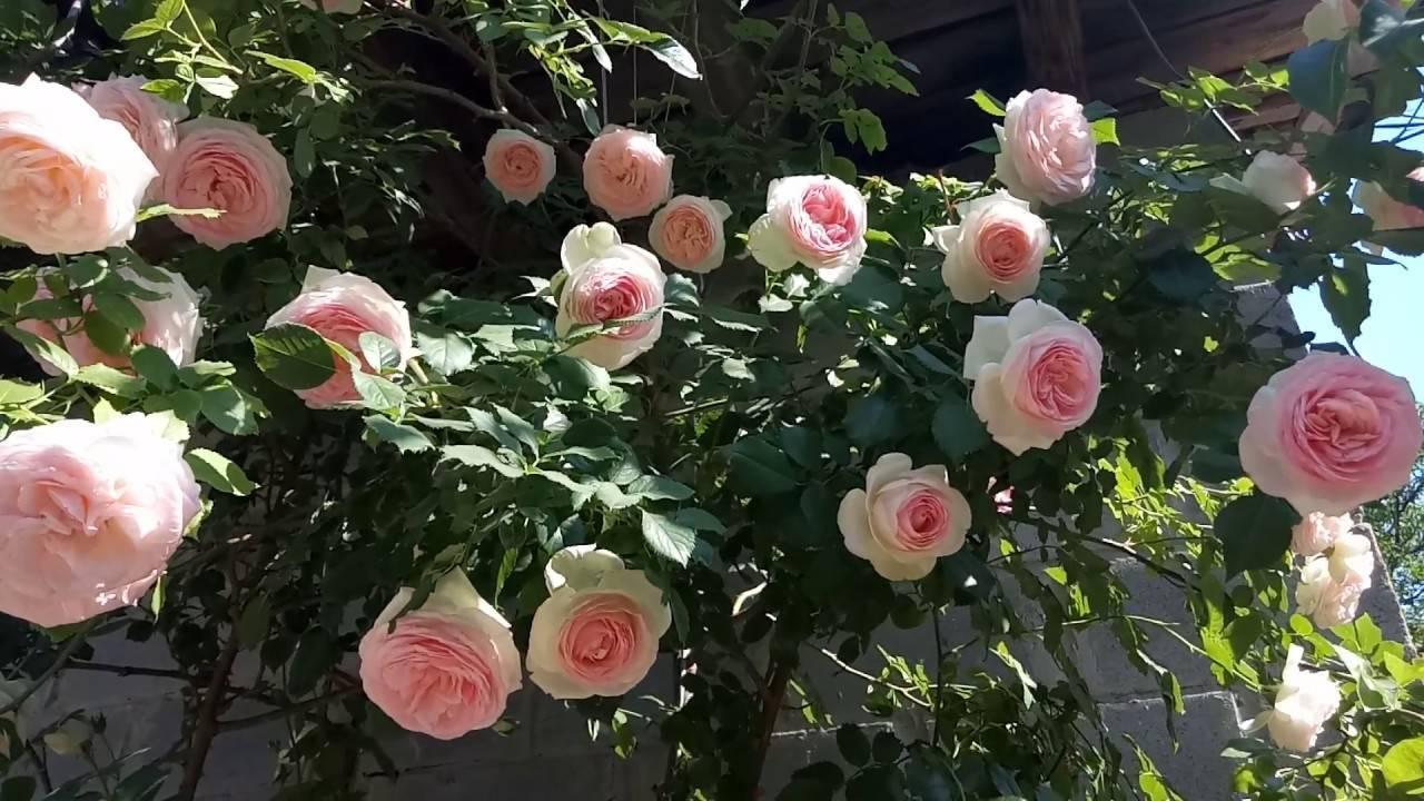 Роза пьер де ронсар — особенности посадки и ухода