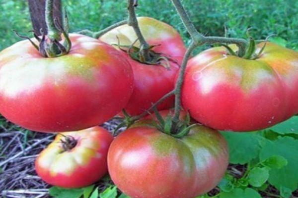 Характеристика и описание сорта томата толстой, его урожайность и выращивание