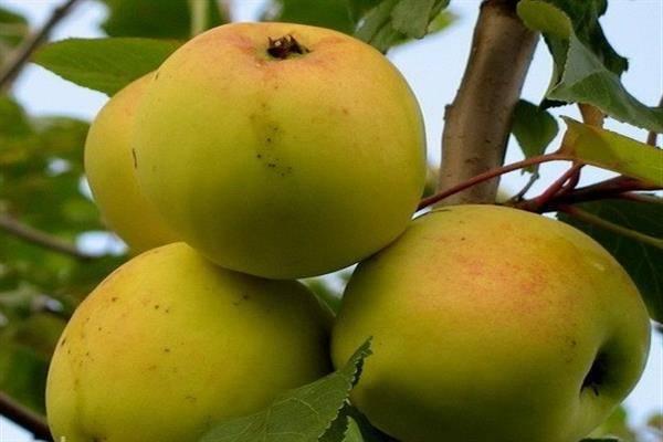 Сорта яблок: характеристики и урожайность деревьев