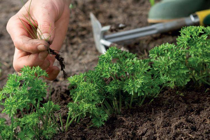 Что такое прополка моркови, чем отличается от прореживания? способы проведения процедуры