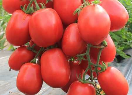 Томат бочата: характеристика и описание сорта, выращивание с фото