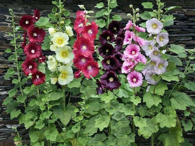 Мальва: выращивание из семян, посадка и уход в саду
