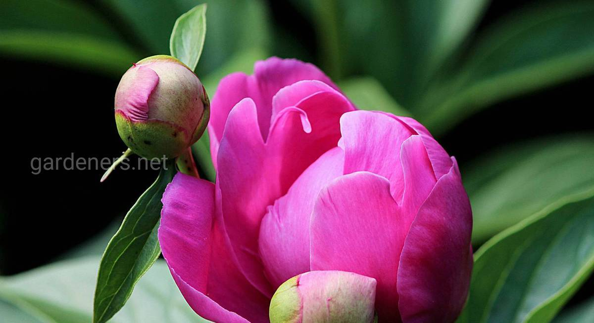 Болезни и вредители пионов: ищем способы защиты цветов