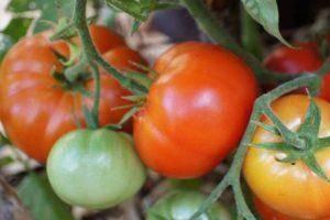 Томат черри: 9 лучших сортов и особенности выращивания