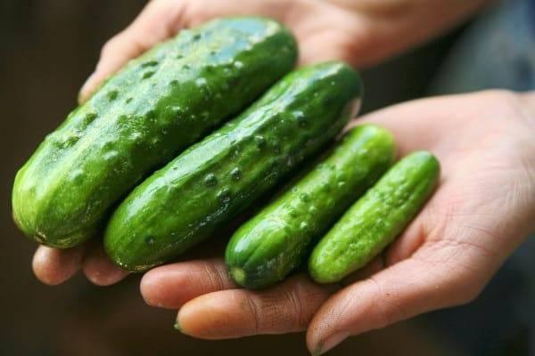 Огурцы «маменькин любимчик f1»: рекомендации по выращиванию и уходу за гибридом