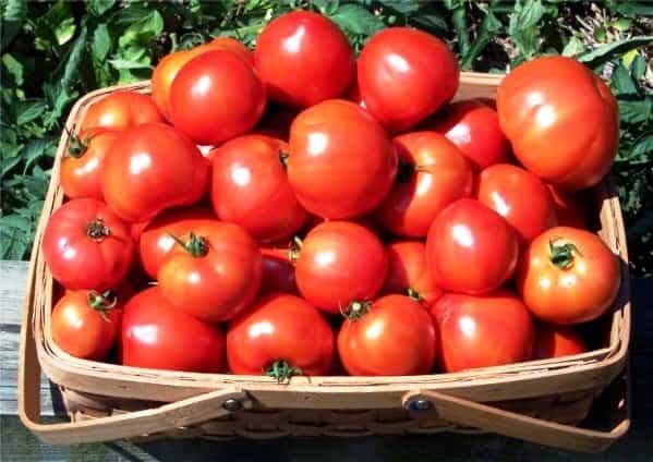 Щедрый урожай с томатом «агата»: описание, характеристика и фото сорта