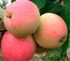 Яблоня розовый жемчуг: особенности сорта и ухода