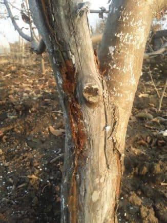У яблони чернеет ствол и засыхают ветки: чем вылечить дерево и что делать