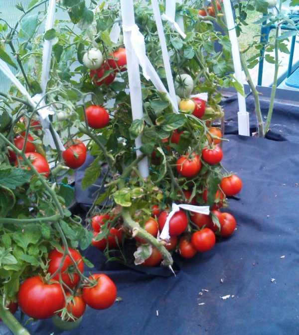 Оригинальный сорт больших урожаев — томаты «яблоки на снегу»: описание, характеристика, фото