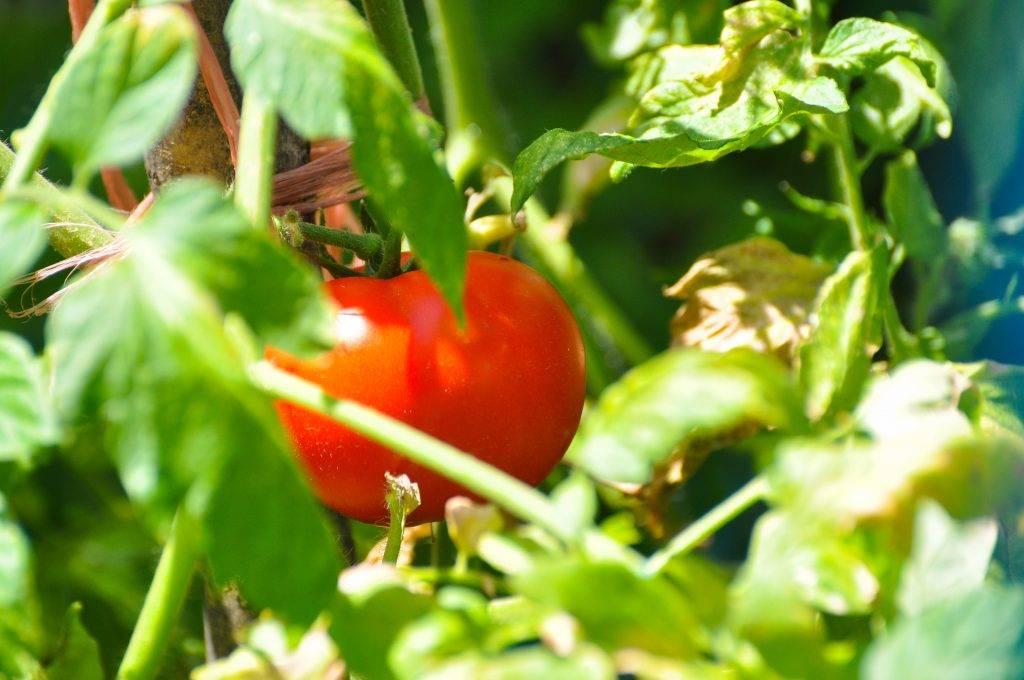Характеристика и описание сорта томата снегирь, его урожайность