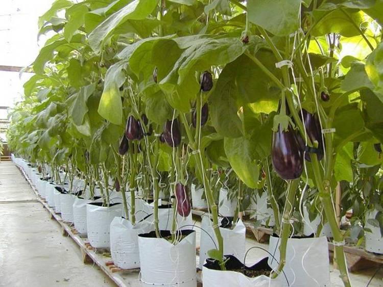 Основные особенности выращивания баклажанов