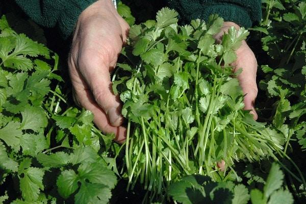 Описание лучших сортов кориандра (кинзы), полезные свойства и выращивание