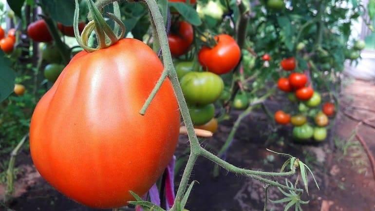 Сорт томата «пузата хата»: описание, характеристика, посев на рассаду, подкормка, урожайность, фото, видео и самые распространенные болезни томатов
