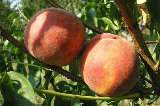 Описания 20 лучших сортов крымских персиков и правила выращивания