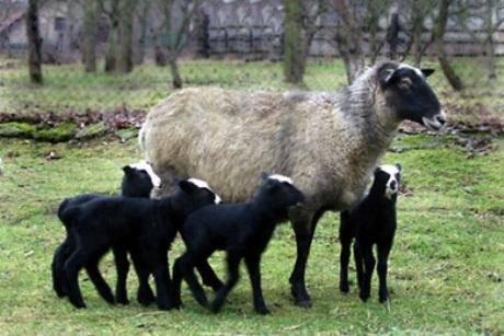 Катумская порода овец мясного направления