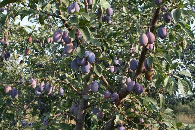 Домашняя слива ренклод: описание популярных сортов и правила выращивания