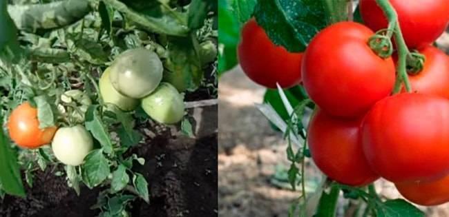 Томат сибирское яблоко: описание сорта, фото, отзывы, характеристики, урожайность , достоинства и недостатки