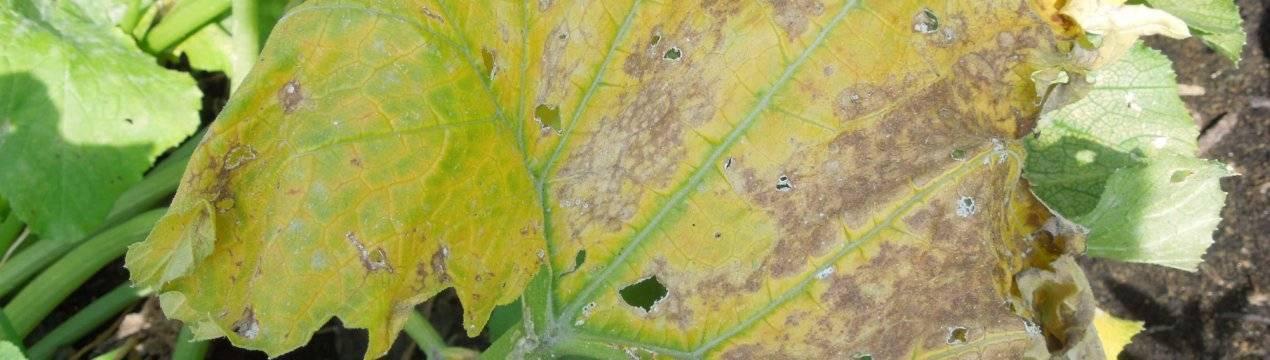 Причины пожелтения и усыхания листьев на тыкве