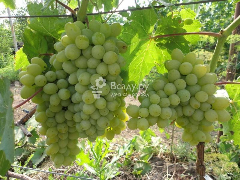 Описание и технология выращивания винограда сорта Анжелика