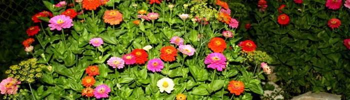 Описание 15 лучших видов однолетних цветов для дачи цветущих все лето