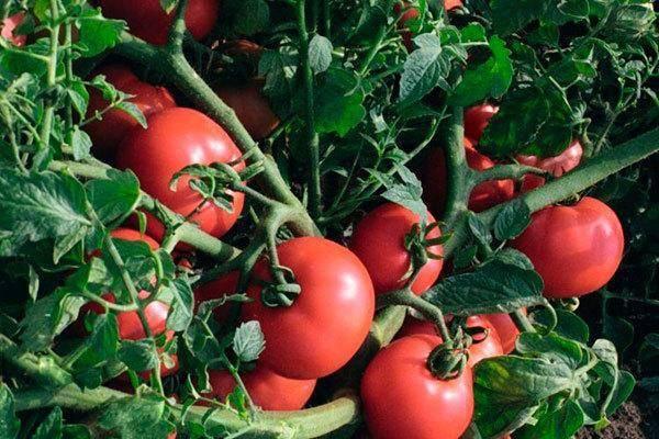 Описание, особенности и агротехника томата красная россыпь