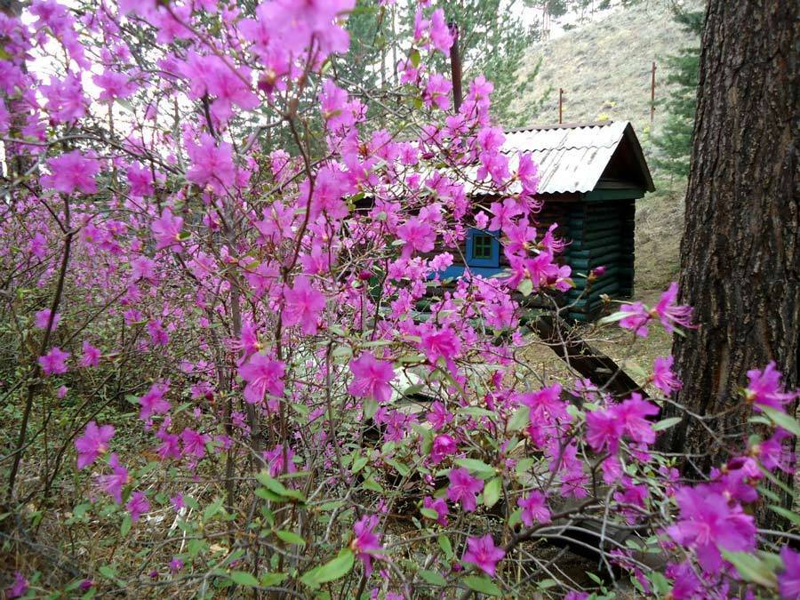 Описание и характеристики рододендрона Шлиппенбаха, посадка и выращивание