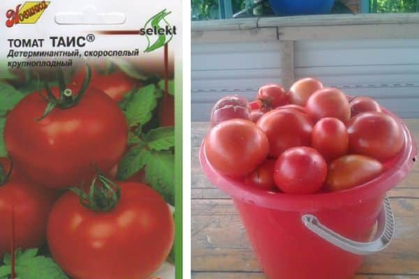 Описание сорта томат Таис и его характеристика