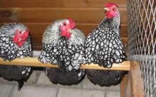 Описание кур породы суссекс, правила содержания и питания