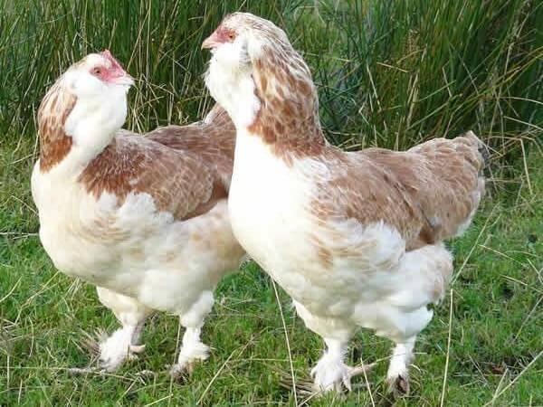 """Амераукана: описание, особенности и характеристики породы красивых """"пасхальных"""" кур, несущих голубые яйца"""