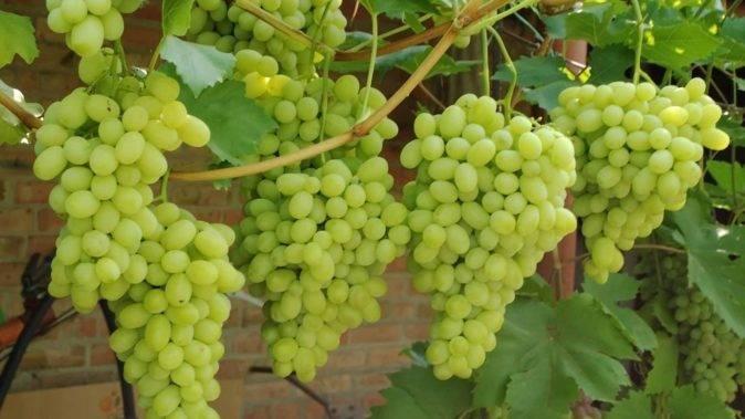 Описание и характеристики сорта винограда байконур, особенности выращивания и история селекции
