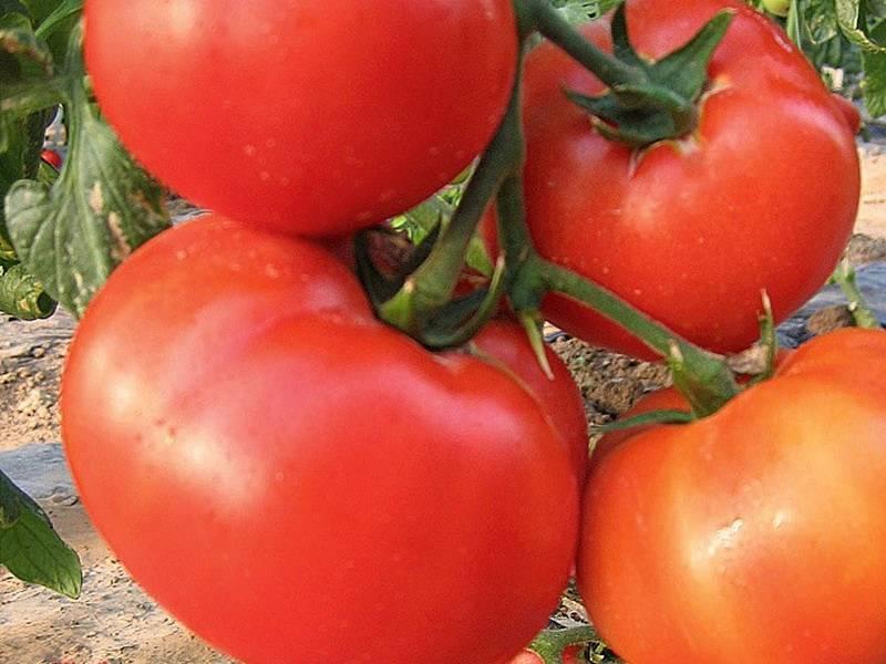 Характеристика и описание сорта томата Король рынка, его урожайность