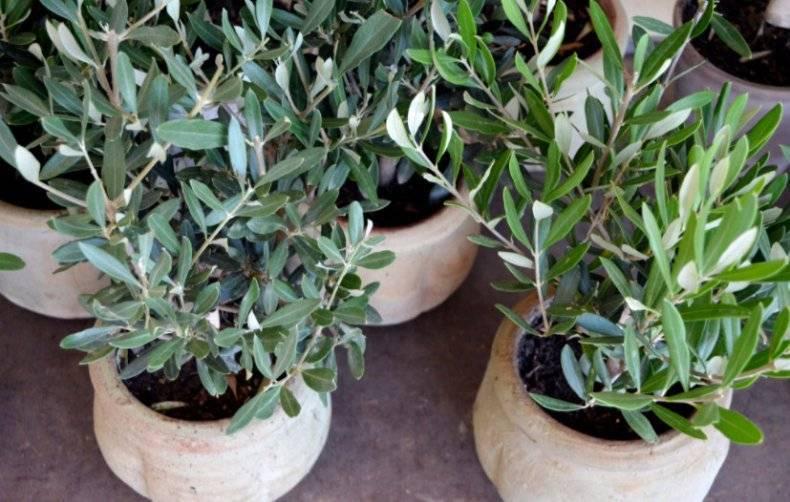 Способы размножение кливии в домашних условиях. руководство по посадке растения