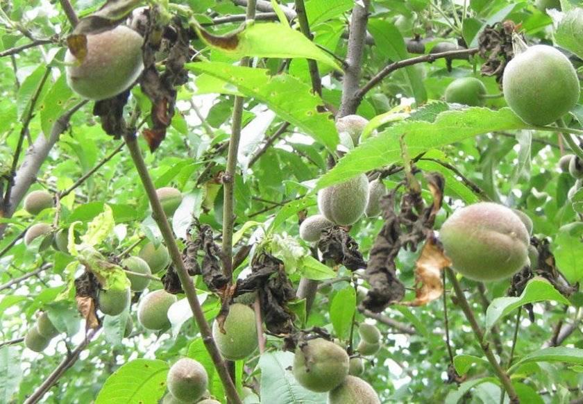 Монилиоз вишни — как лечить заболевание монилиальный ожог