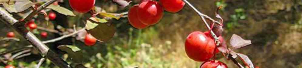 Обзор лучших сортов для урала и правила агротехники сливы