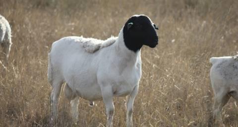 Овцы породы дорпер — особенности разведения