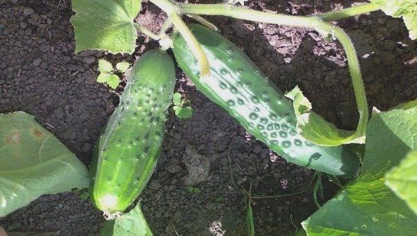 Огурец мадрилене — характеристика и правила выращивания