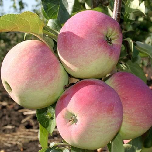 Описание и характеристики сорта яблонь Свежесть, тонкости посадки и ухода