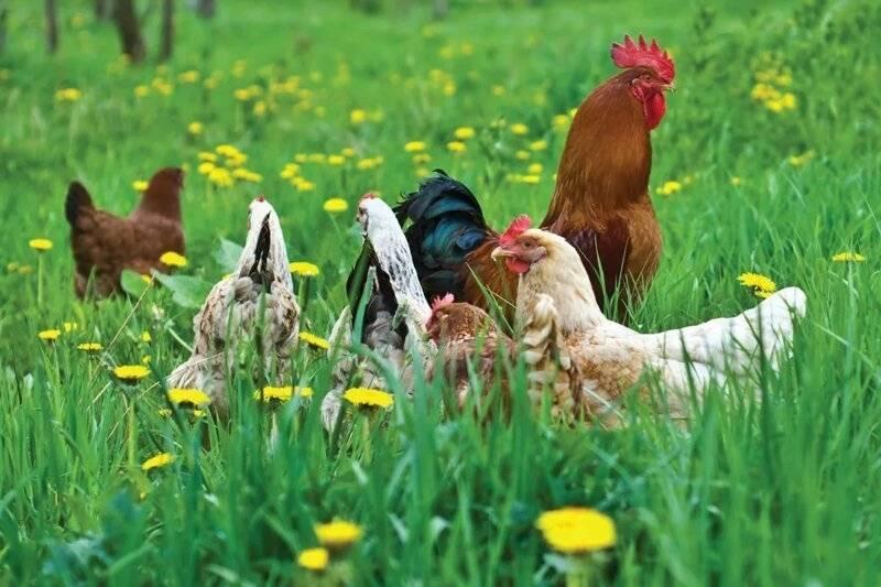 Как определить какая курица несется, а какая нет?