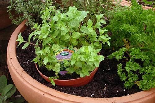 Мята перечная выращивание из семян на огороде. как вырастить мяту в домашних условиях