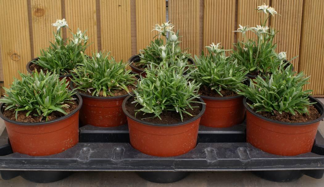 Цветок эдельвейс: популярные виды, посадка и уход