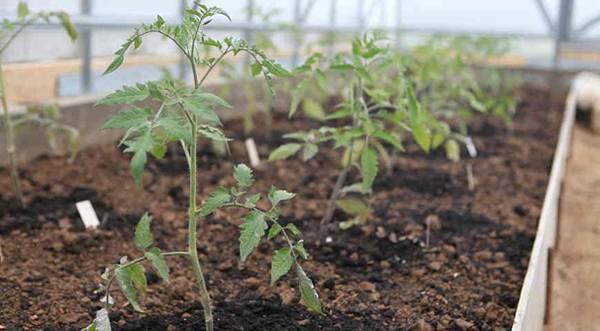 Выращивание рассады помидор на дому: когда сажать семена томатов и как их вырастить
