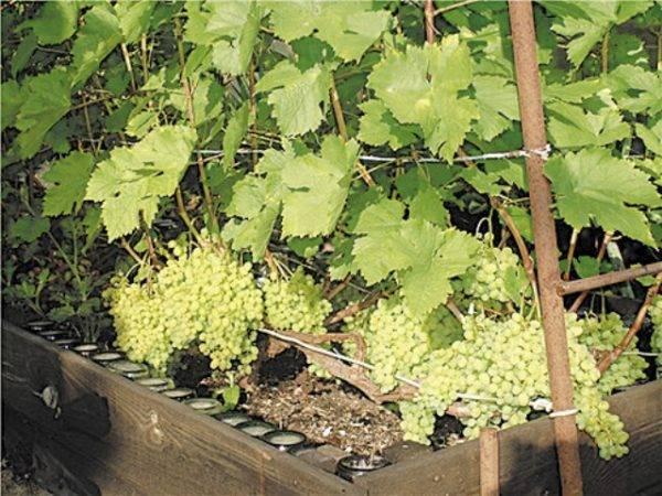 Особенности сорта винограда алёшенькин