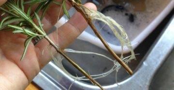 Розмарин — выращивание и уход дома