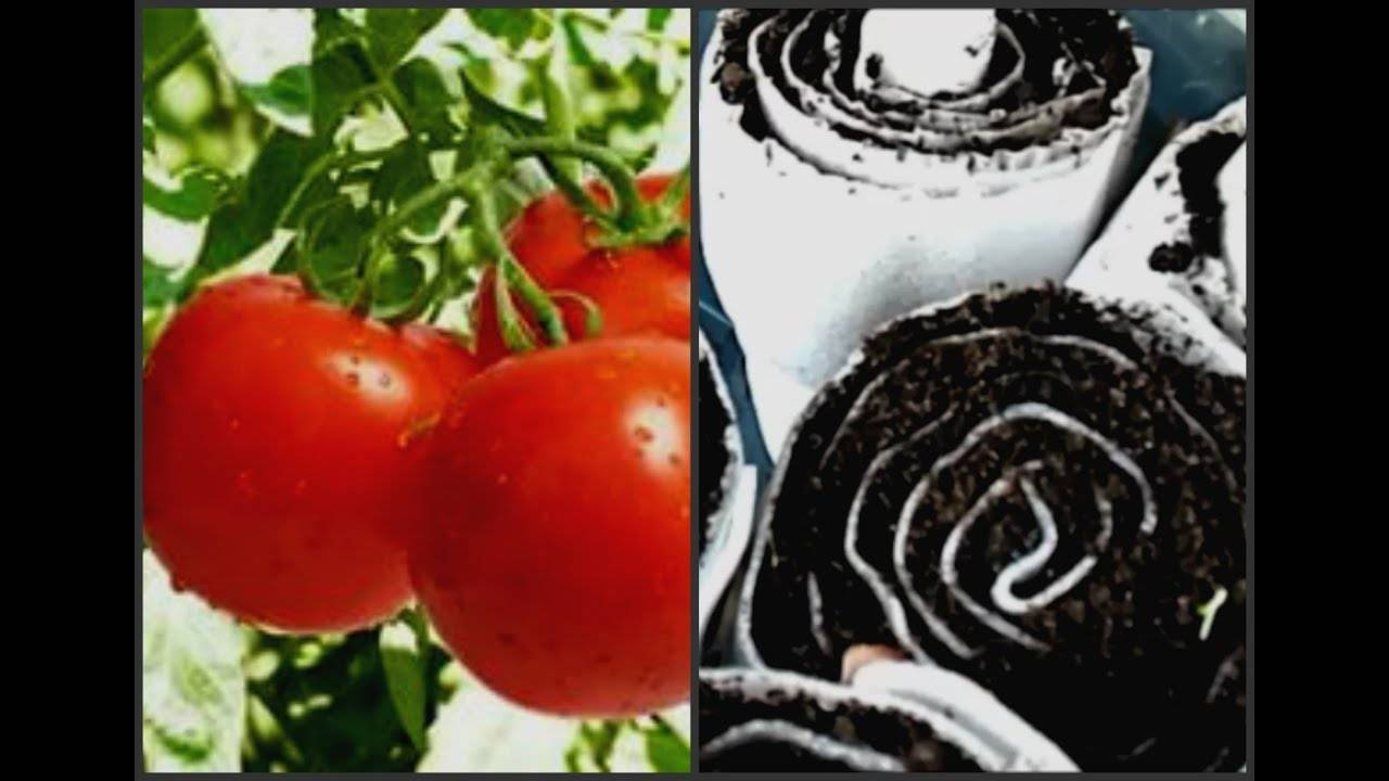 Посадка семян в улитку с туалетной бумагой. видео юлия минаева. сажаем помидоры в улитку по методу юлии миняевой пикировка рассады из улитки в пеленки: видео
