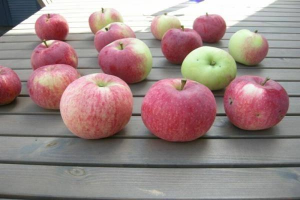 Яблоня марат бусурин описание