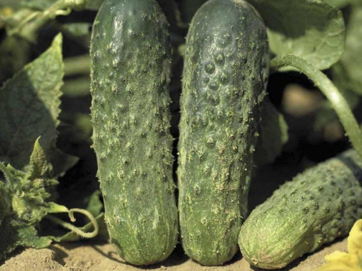 Гибрид огурцов «барабулька f1»: фото, видео, описание, посадка, характеристика, урожайность, отзывы