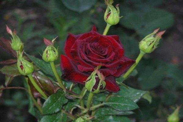 Роза черная магия, фото и описание сорта, посадка, уход и выращивание