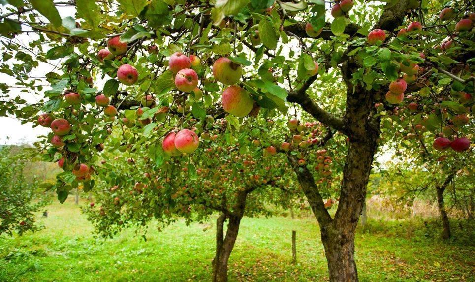 Вянут листья у яблони: что делать и почему это происходит, чем лечить